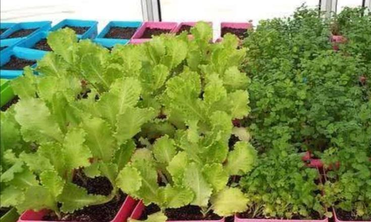 花盆撒把香菜种,1周长出绿油油小苗,随时能吃新鲜香菜