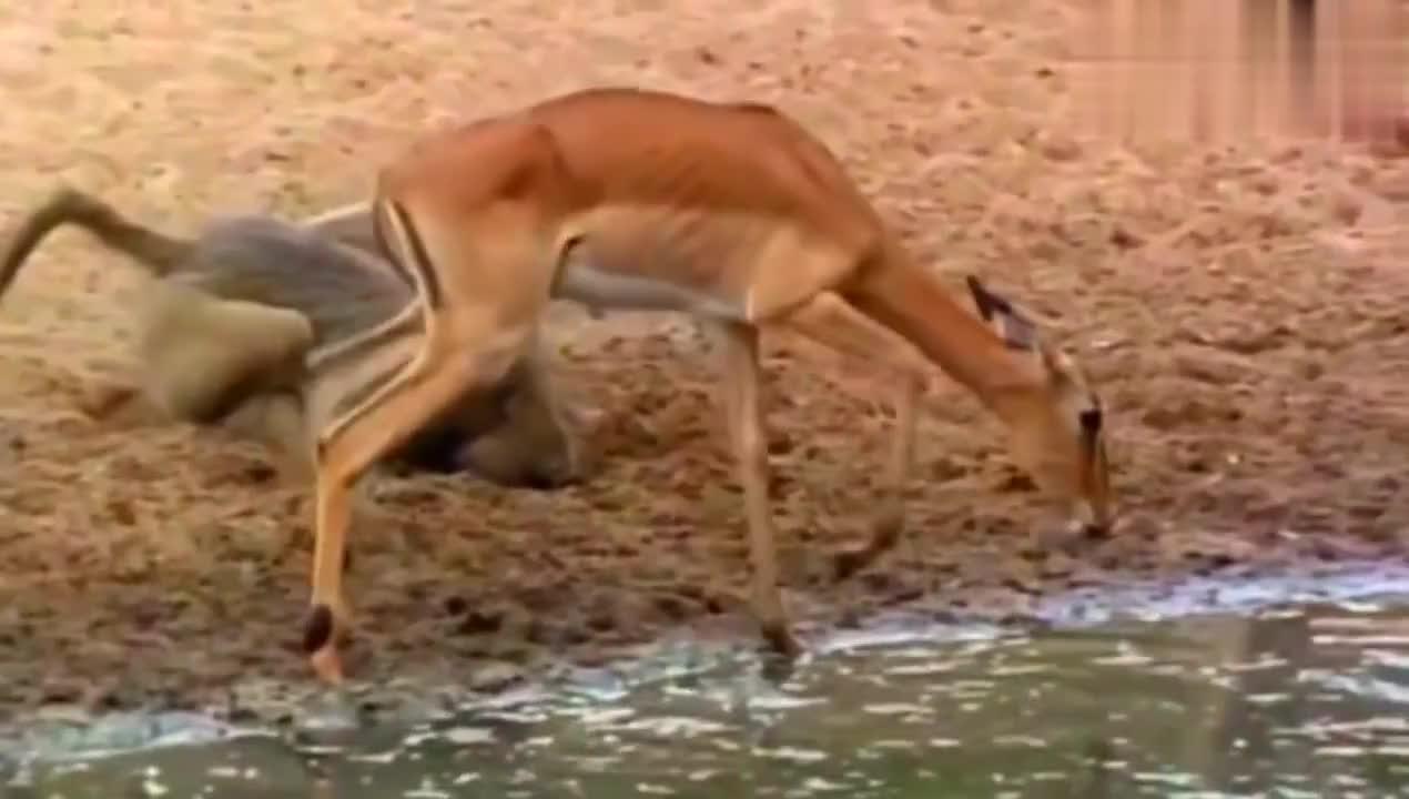 鳄鱼袭击过来饮水的动物