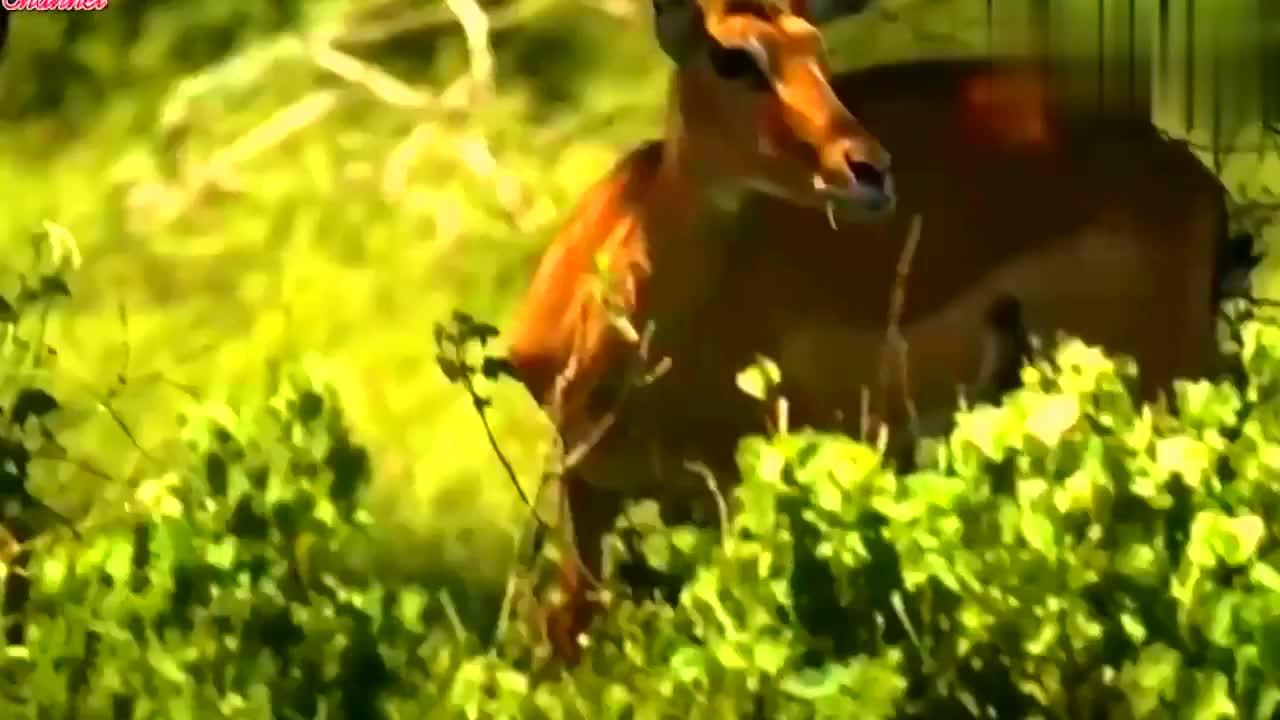 残暴的鬣狗对凶残野狗的生死大战,场面太震撼了,这就是自然