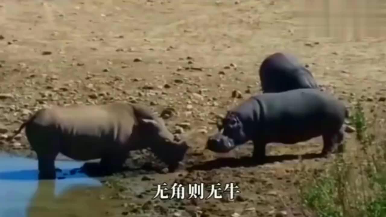 犀牛被麻醉后醒来一看,长出了犀牛角,情绪瞬间平复