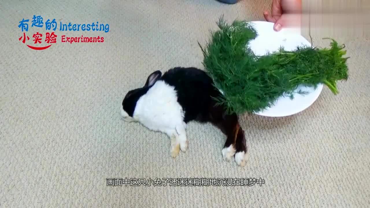用莳萝将熟睡兔子围住会怎样?鲤鱼打挺兔子疯狂进食,引起舒适