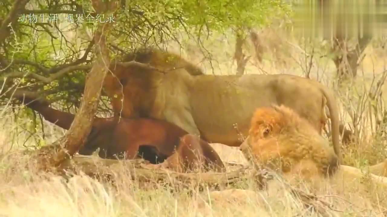 野生白狮兄妹的生活:狮王父亲捕获野牛带来共享
