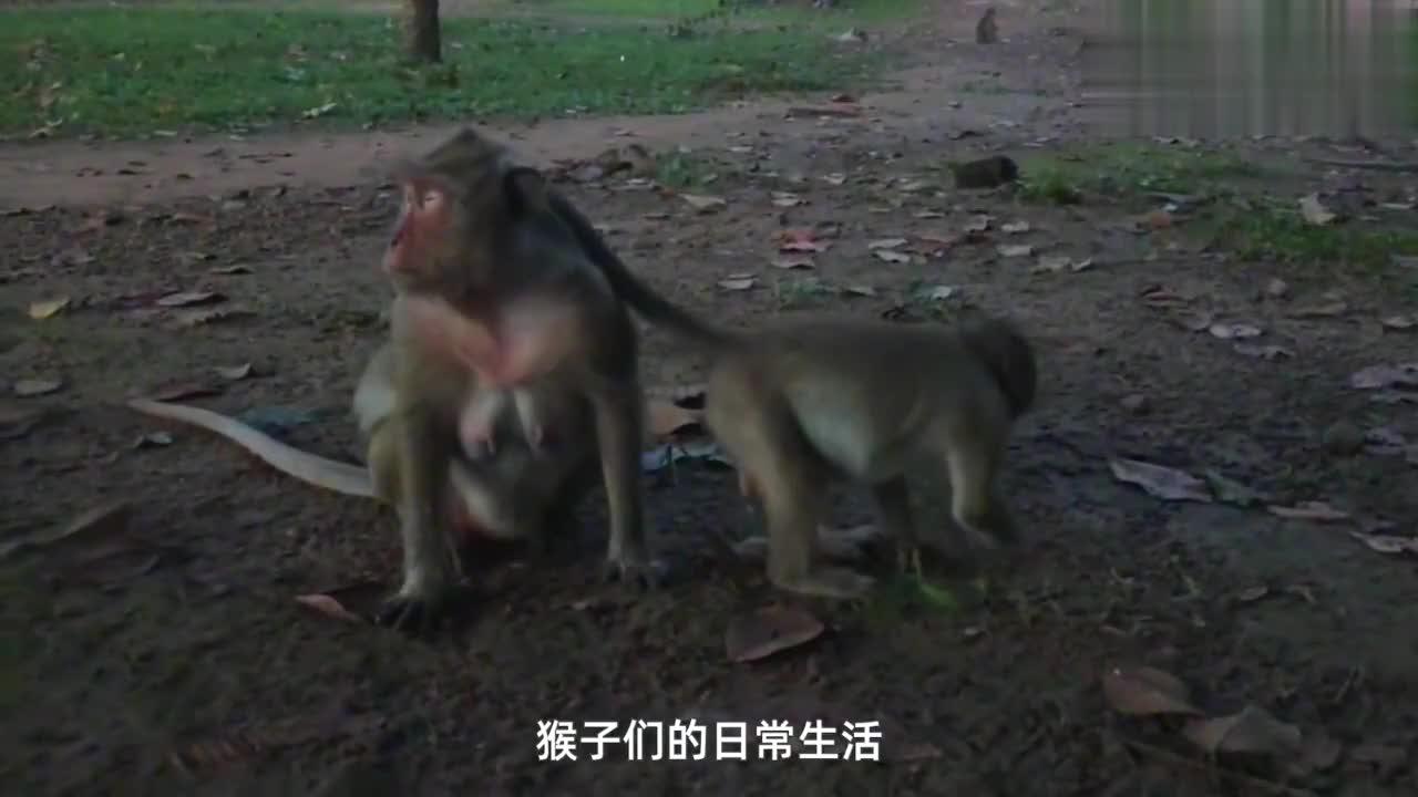 猴宝宝动物世界:亲密的母子俩,走路时,尾巴也要搭在母猴身上