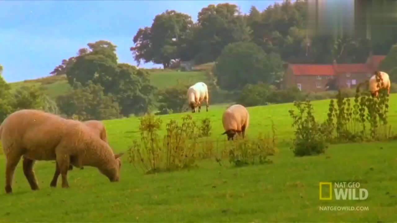 狡猾的貂用一招调虎离山计分散兔妈妈的注意力,然后抓捕小兔子