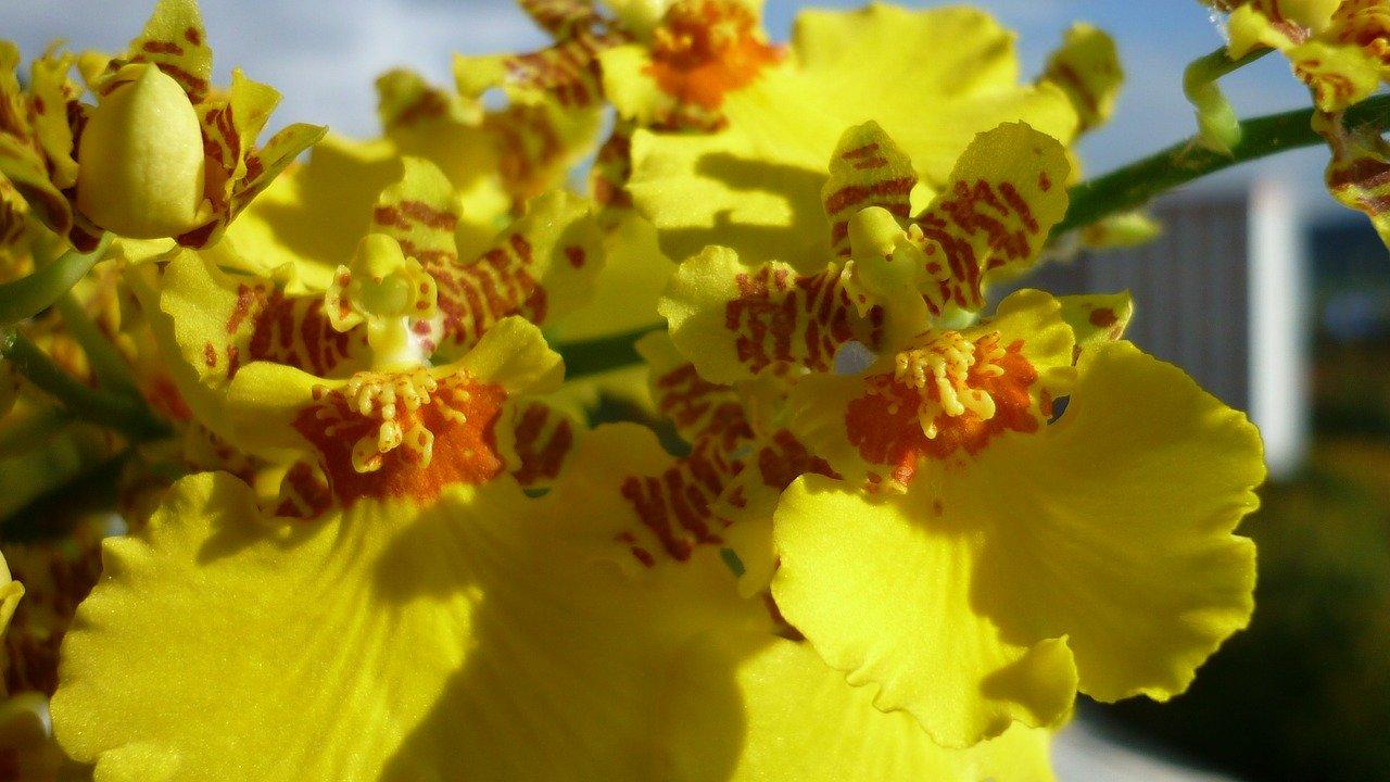 此花奇异可爱,形似飞翔的金蝶,是世界重要的盆花和切花种类之一