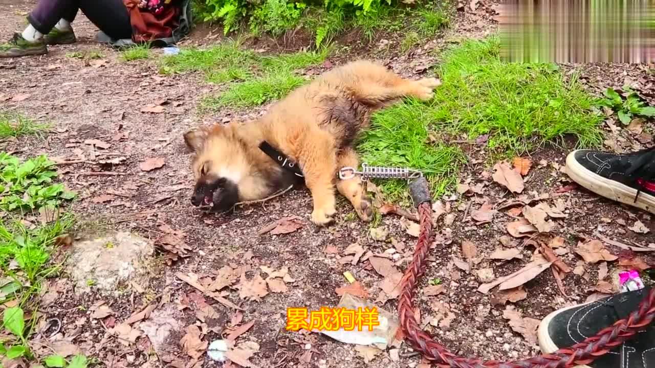 全网最潇洒的土狗,走了几个小时的山路,饥饿的吃野草充饥