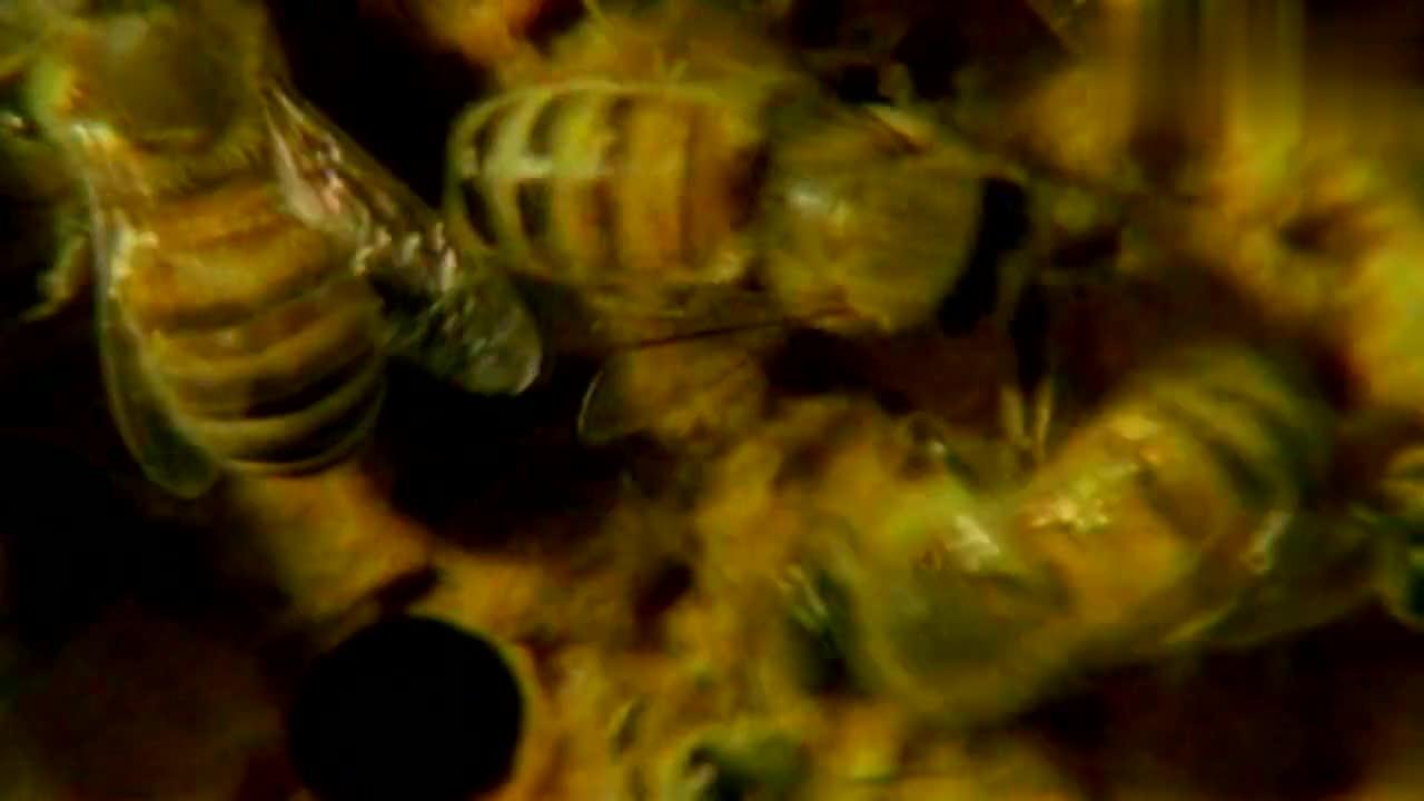 幼虫在几何形状的蜂巢里茁壮成长,蜂王一天能产下多少卵