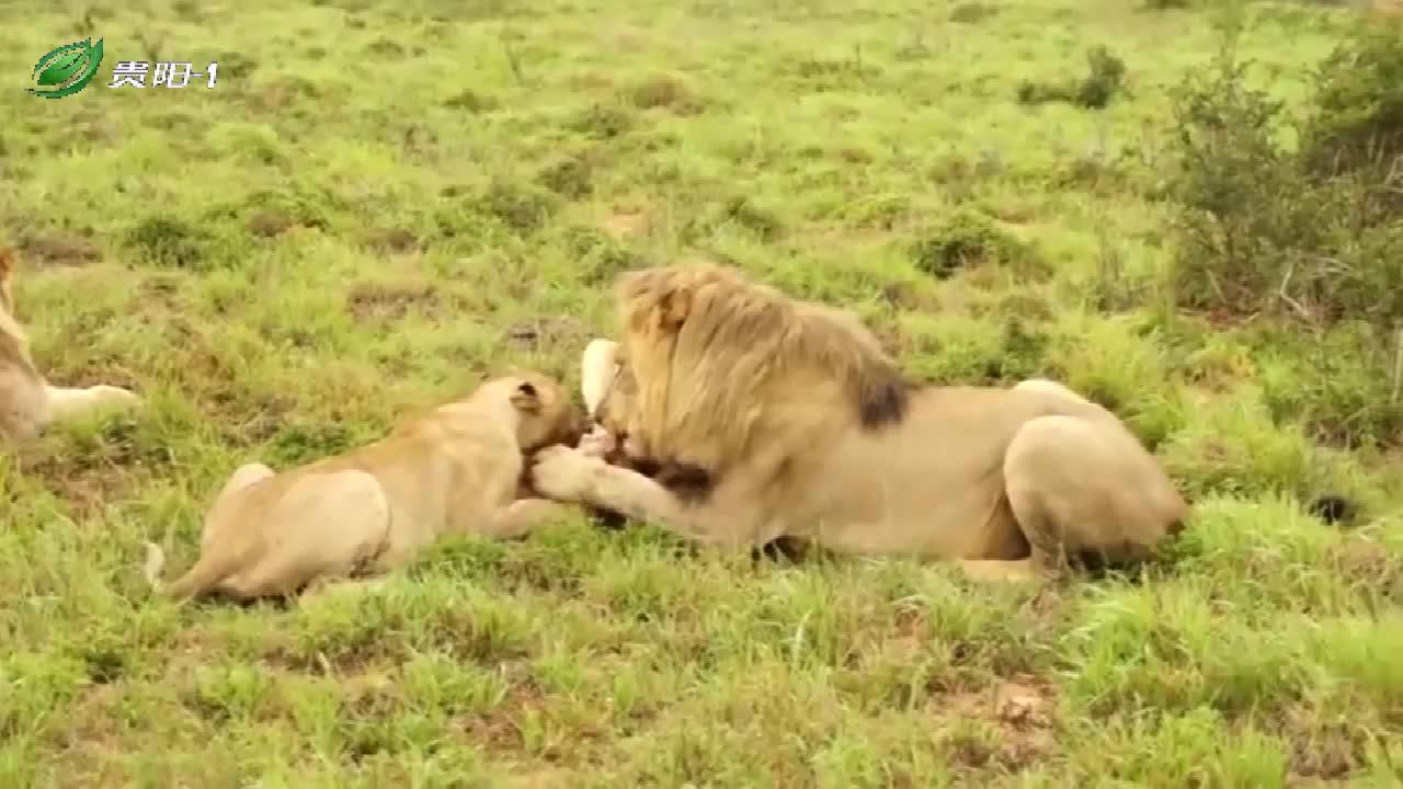 狮子夫夫妻正在吃一头野猪,这表情,简直太香了!