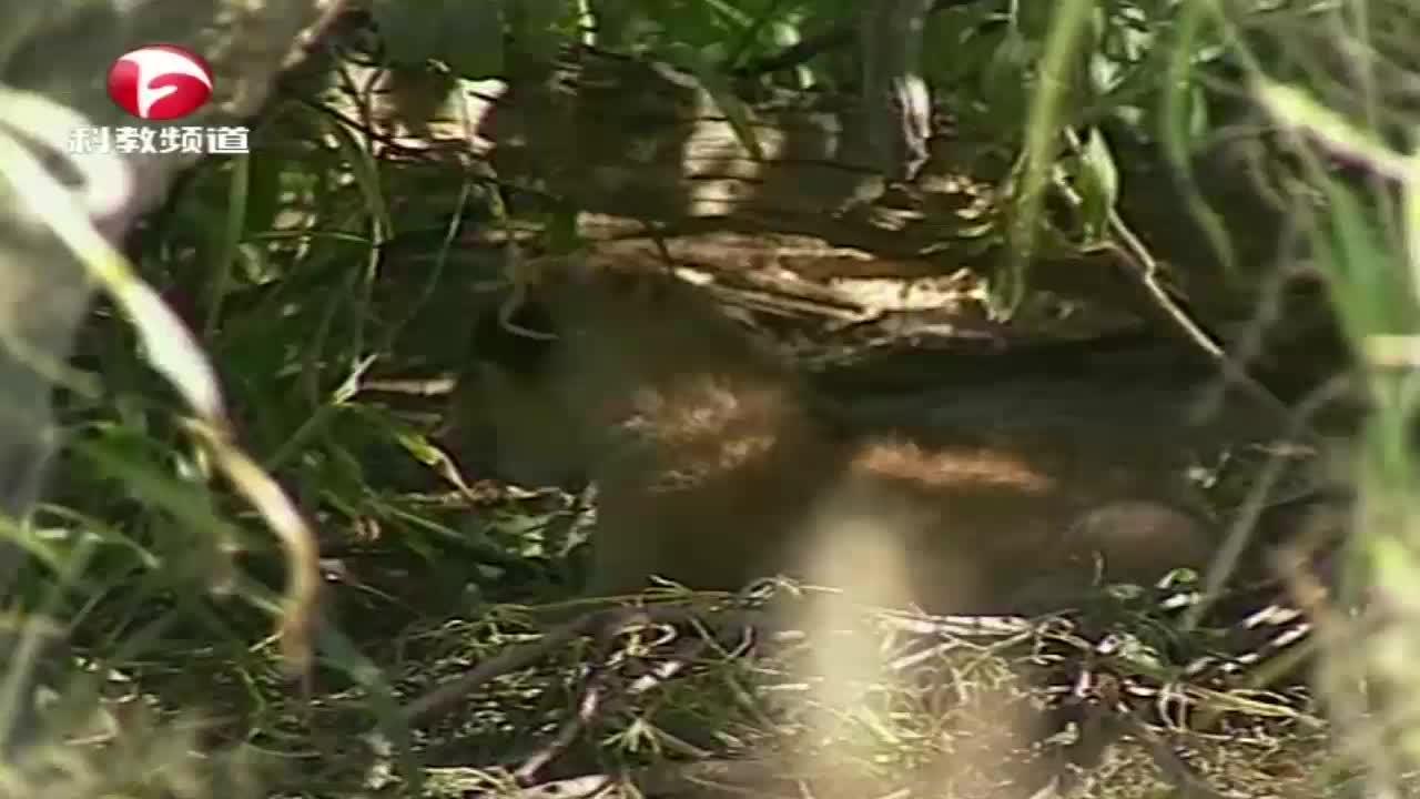 鬣狗发现狮子幼崽,前来捕食被雌狮赶走,雌狮决定再次搬家