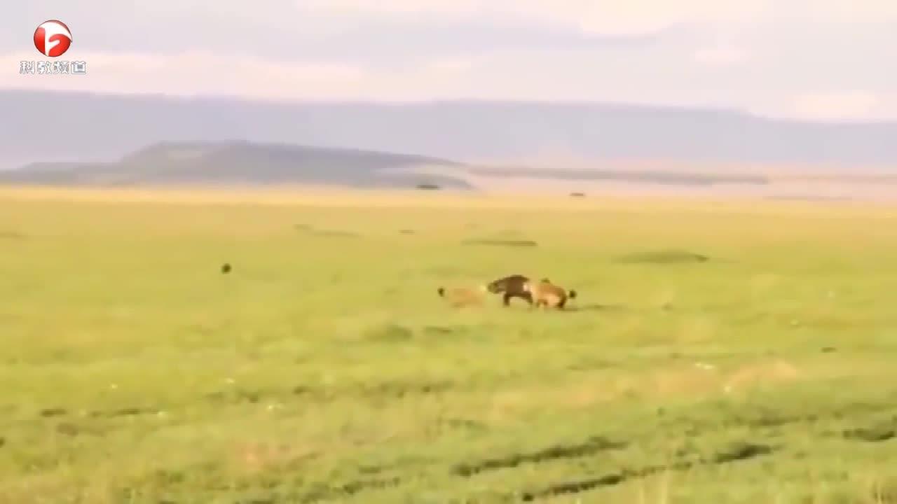 鬣狗群遇上非洲小水牛,发生了无法想象的事