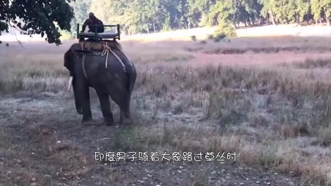 印度男子骑着大象,突然传出阵阵虎啸,一头孟加拉虎猛蹿而出!
