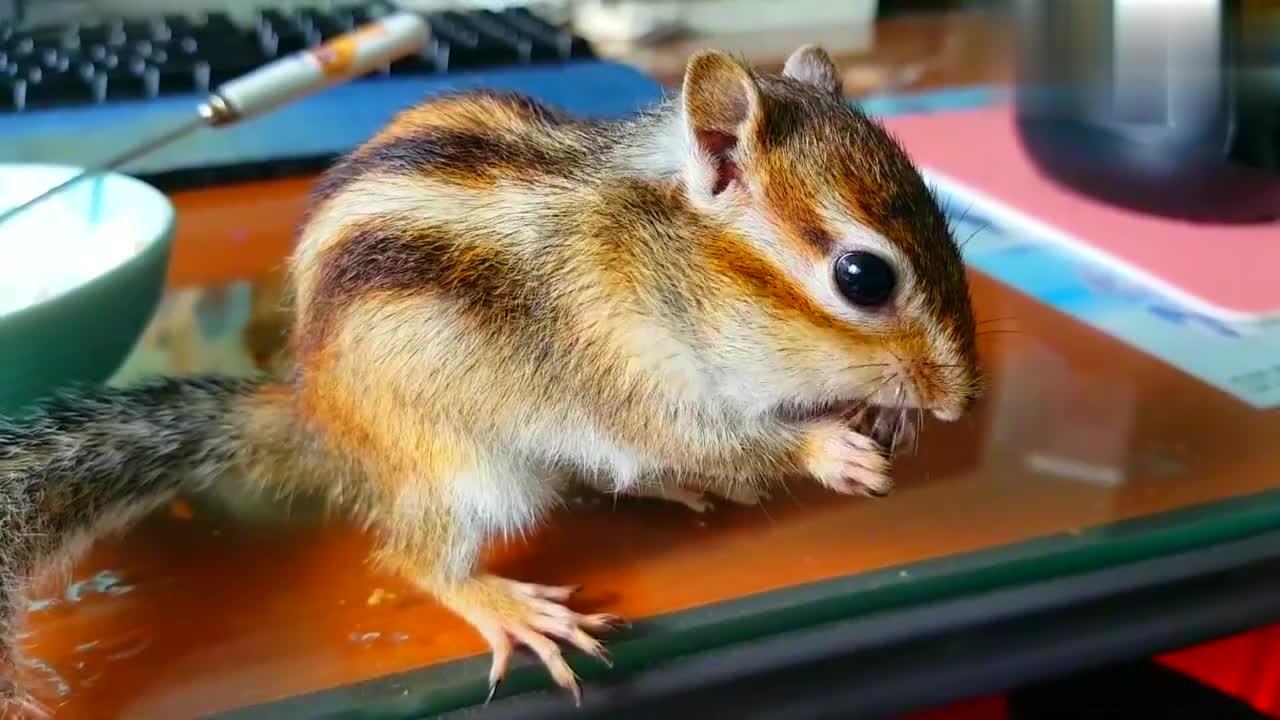 一只花栗鼠,从麦片里偷走了,它最喜欢的核桃仁