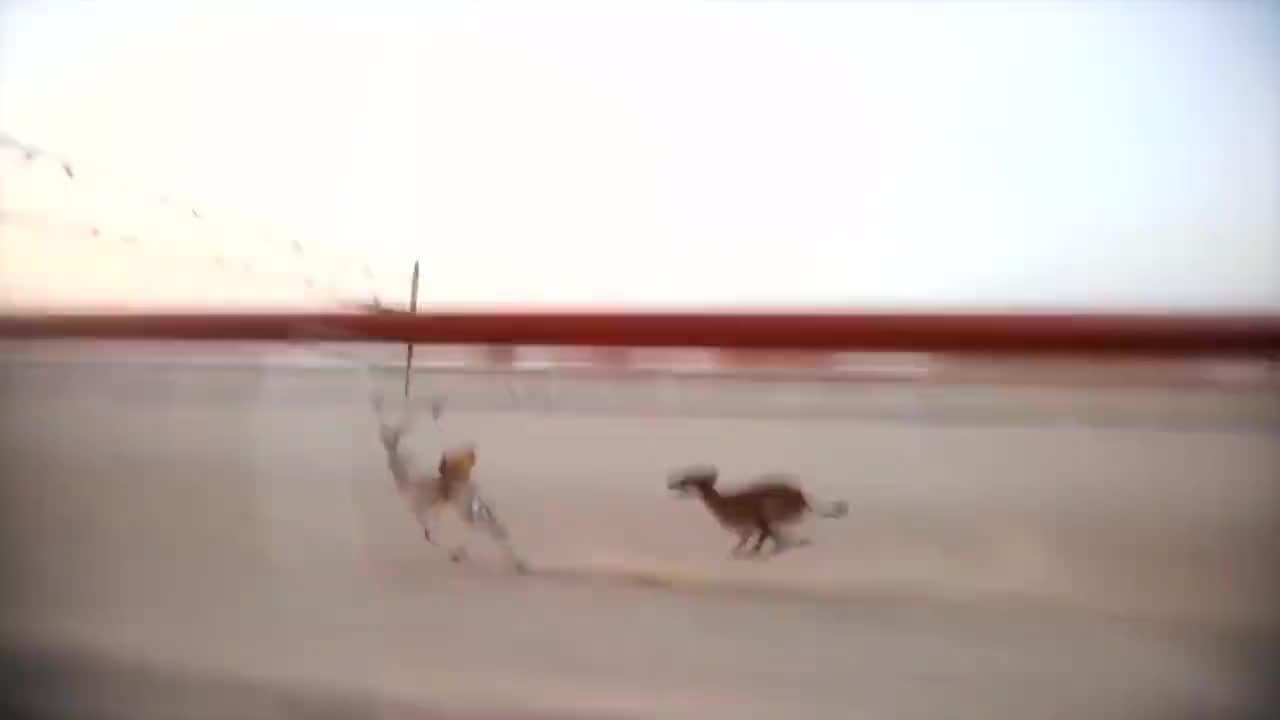 """被称为""""野兔收割者""""一生只为速度生,收割上千只野兔,生死极速"""