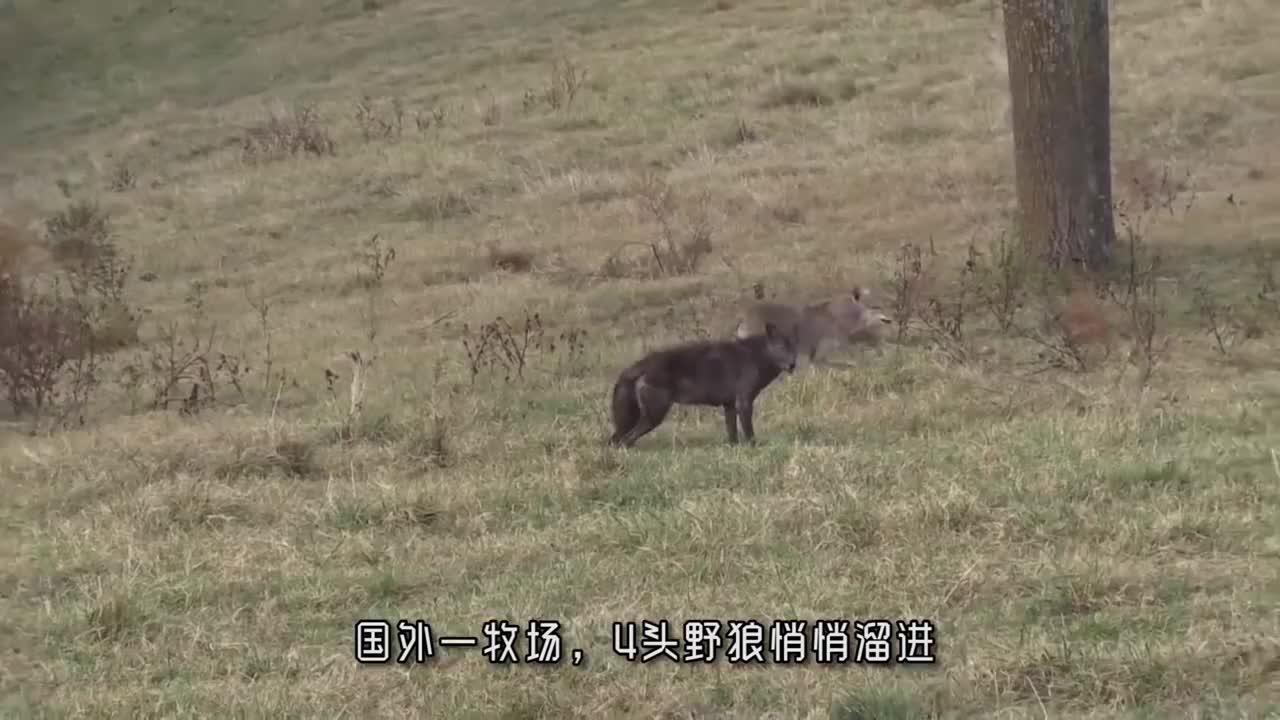 野狼溜进牧场偷袭牲畜,被守护的藏獒发现,下一秒藏獒大战野狼群