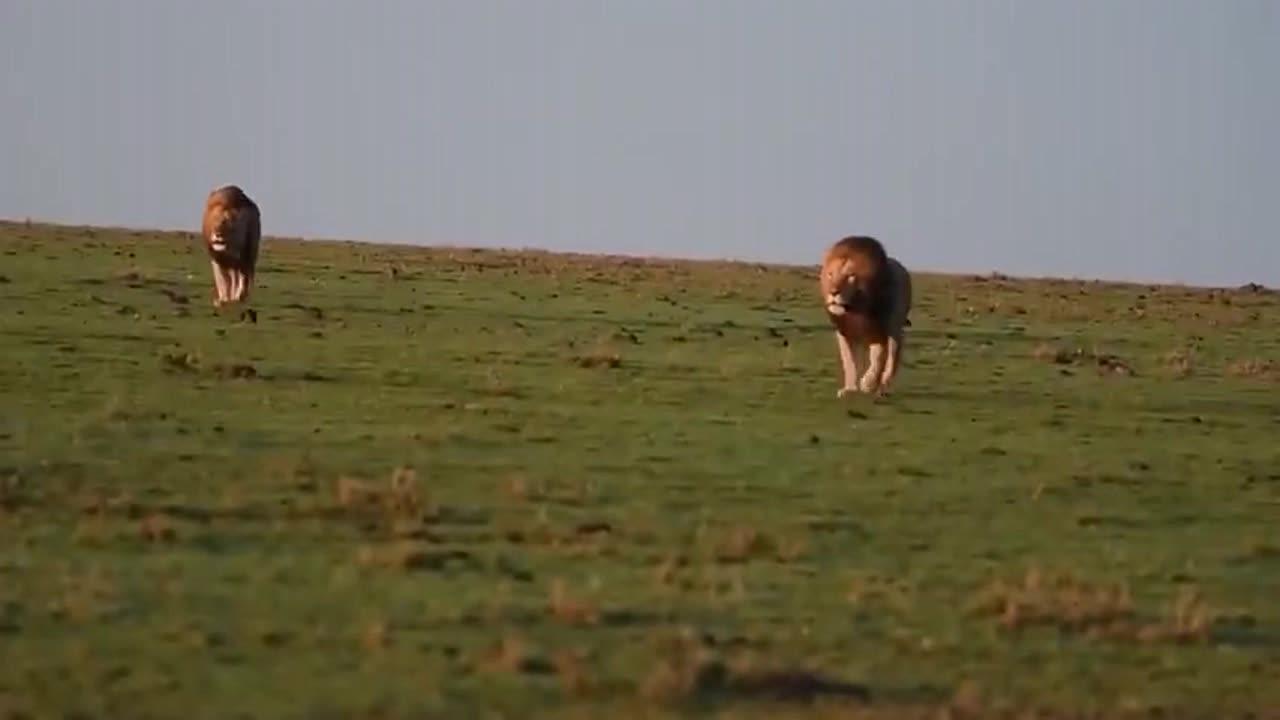 实拍:自带王者气场的雄狮