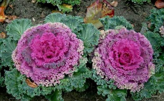 """此花可食可观赏!色彩绚丽如花的""""羽衣甘蓝"""",在家养几株还讨喜"""