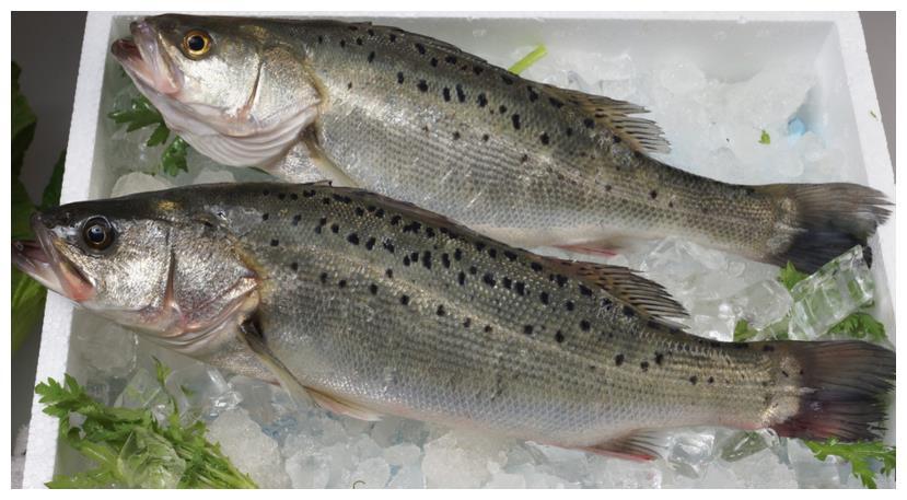 买鲈鱼,不是越大越好!看这4点,保证新鲜肥美,鱼贩也夸你内行