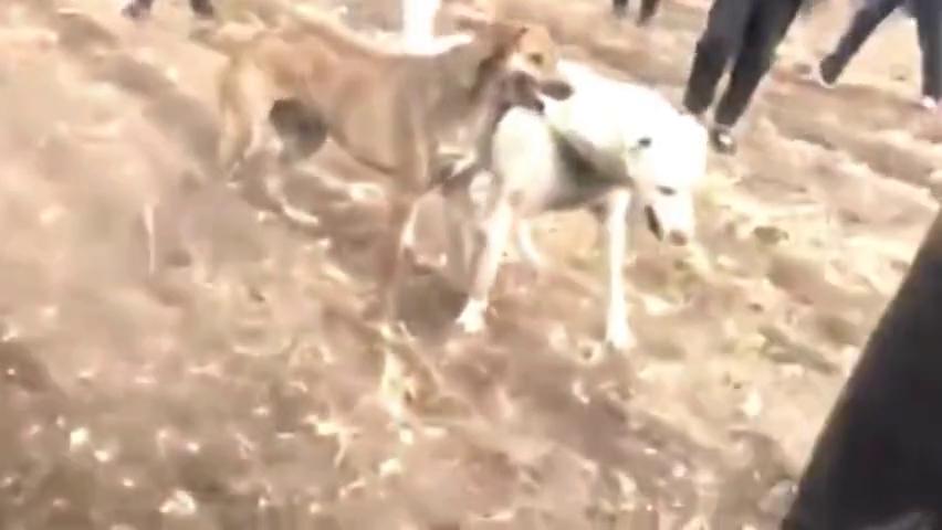 都说比特犬是斗狗之王,其实蒙古细犬才是最凶狠!