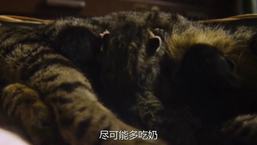 野生萌宠:猫妈妈为什么总是用舌头舔小猫仔,这才是原因所在