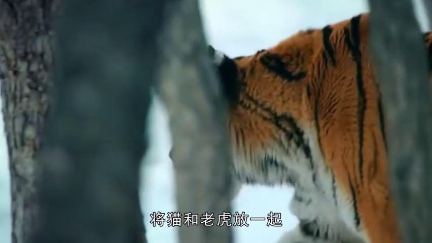 将猫和老虎放一起,猫会不会被吃掉?网友:果然是老虎的师傅