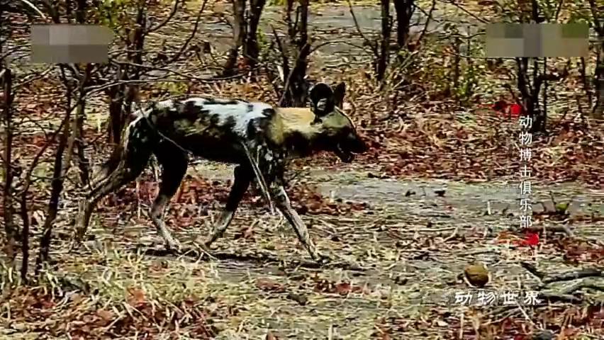 别不信,非洲野犬,是非洲草原上比狮子还厉害的食肉动物