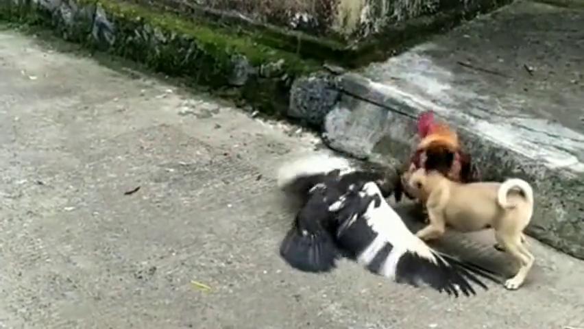 农村院里的鸡鸭打架,没想到小狗来帮忙,一下就看出关系远近了!
