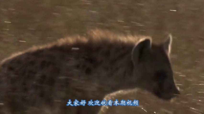 狮子大战鬣狗,一招毙命不给鬣狗反抗机会,镜头记下精彩一战!