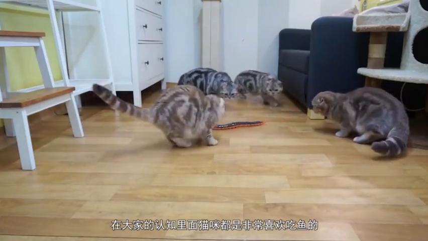 猫咪吃鱼肉会被鱼刺卡住吗?慢镜头50倍下,看到真相