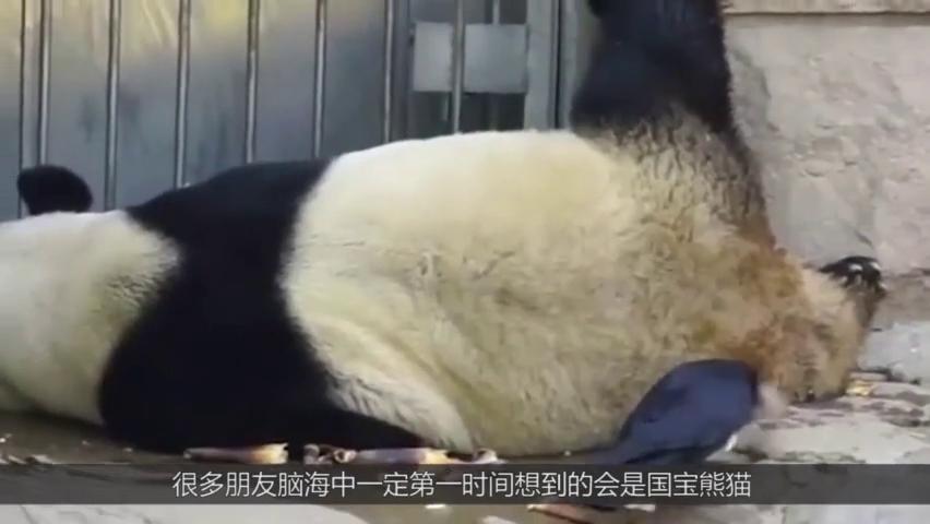 熊猫的真实待遇令人大跌眼镜,就连别墅都另有一番味道