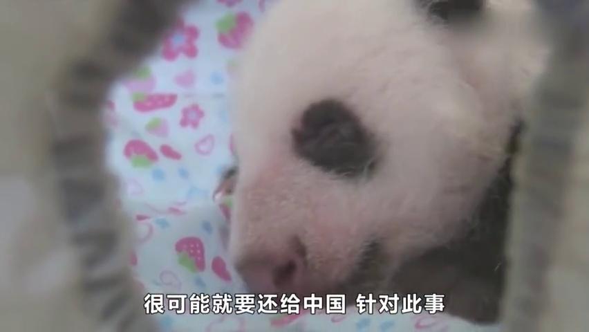 大熊猫:香香很快就会国了,日本:能不能延期?