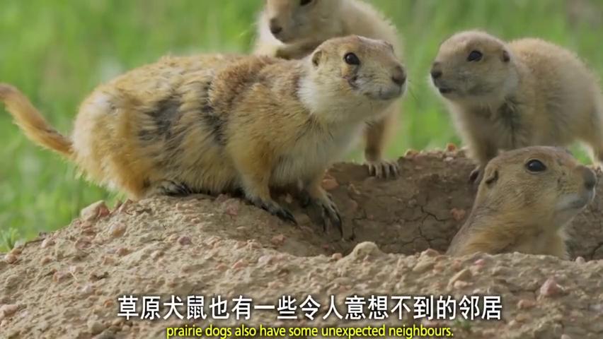 """动物趣闻:小犬鼠看到响尾蛇""""容我吃根草冷静一下先!"""""""