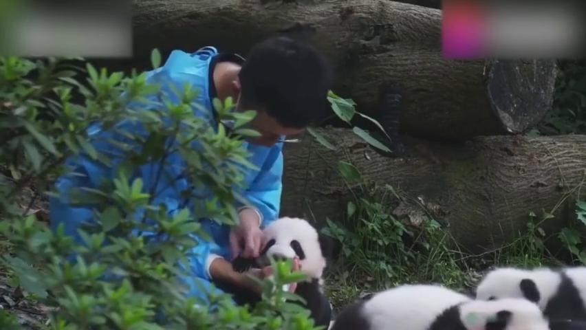 大熊猫别看熊猫宝宝小,小爪子的威力可不小,饲养员小哥真好!
