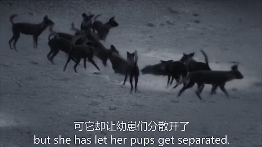 动物世界:杂色狼幼崽被鬣狗分食整个族群低头垂尾为它默哀