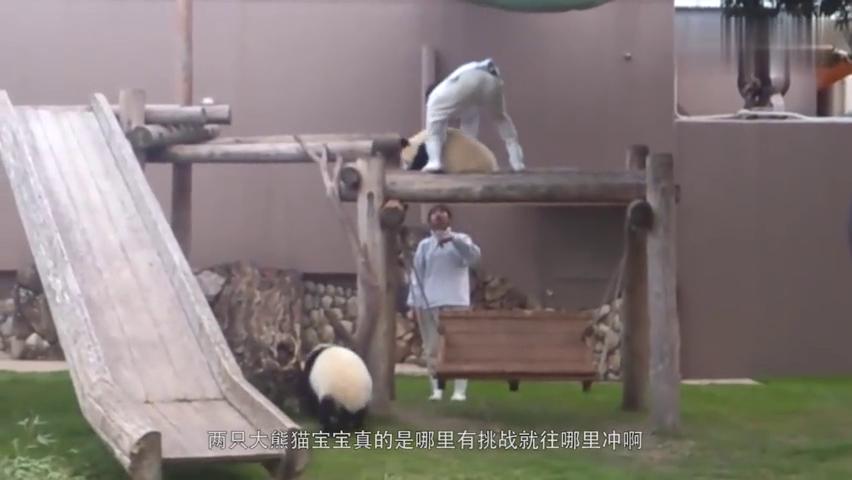大熊猫沉迷美食不愿起来,被饲养员强行抱起,反应太萌了