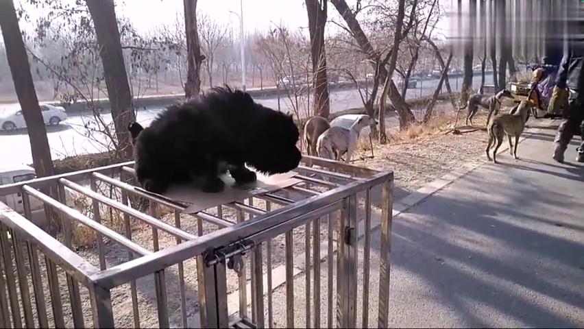 藏獒小奶狗看到细狗在地上玩,它也在高笼子上跳下来了,胆子真大
