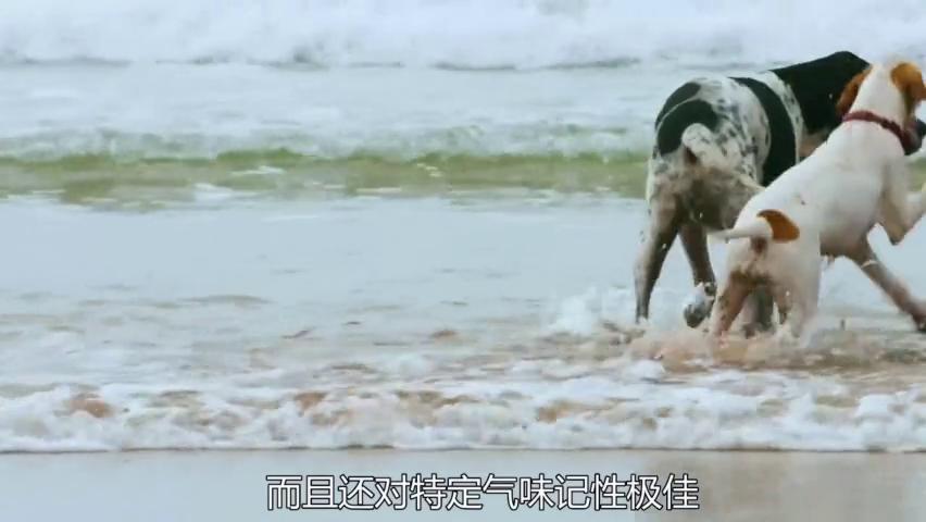 野生萌宠:狗的嗅觉是人类的一万倍,对气味记性极佳