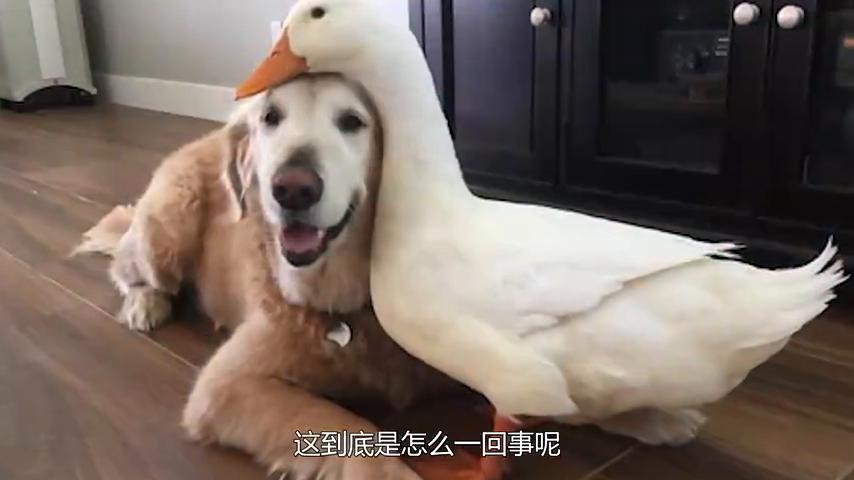 鸭子被金毛带大,主人假装要打狗子,鸭子的反应让人惊讶!