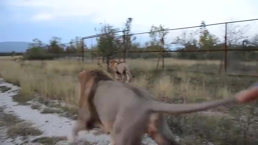 狮子想要逃跑,被饲养员一把拽住尾巴,谁料狮子怒了!