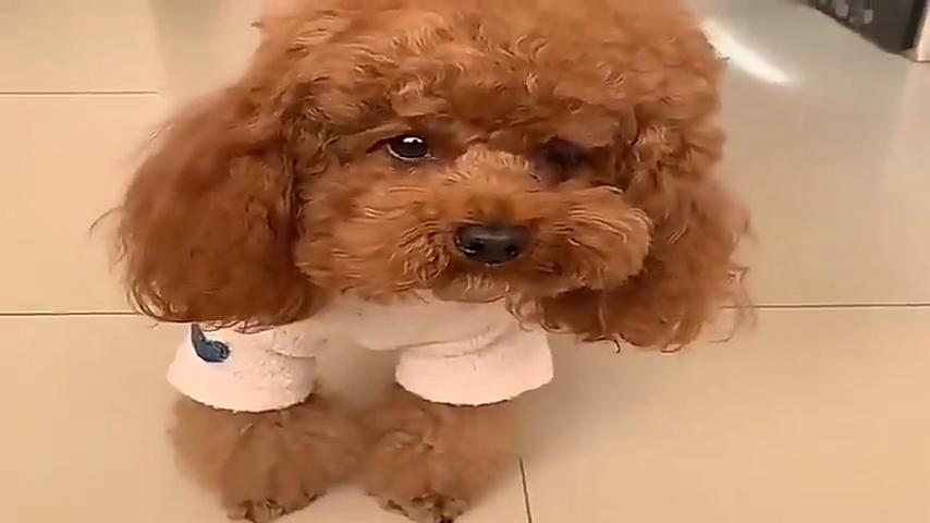 主人给泰迪米米看别的狗狗的照片,米米竟吃醋了,发脾气还踹东西