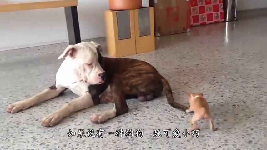 主人摸一下别的狗狗也不行,吉娃娃:只准宠我一个!