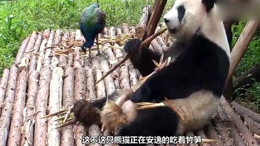 大熊猫遭饲养员嫌弃,熊猫宝宝竟翻脸了!这也太可爱了吧