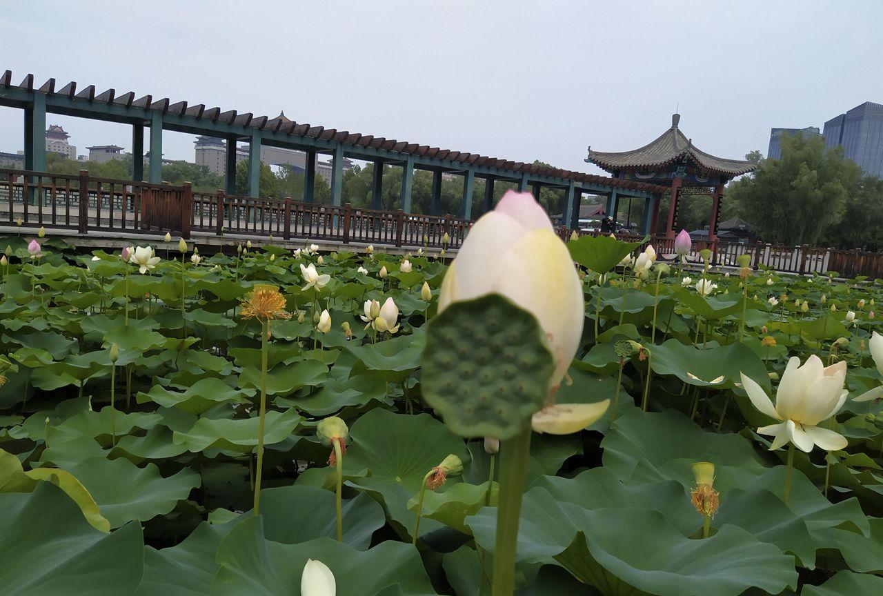 莲花池公园赏荷花