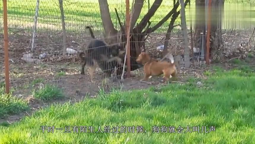 狼犬隔着铁门和一群土狗对骂,主人打开了铁门,气氛尴尬了
