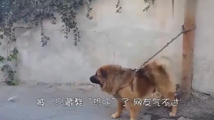 藏獒朝着男子扑过去,男子生气回家带出自己的宠物,藏獒秒怂了!