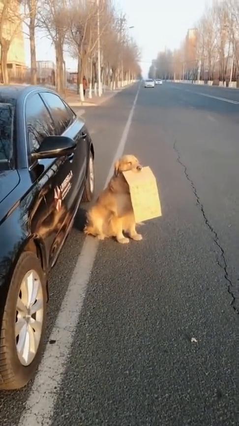 解锁金毛新技能,临时停车防贴条,主人太聪明了!