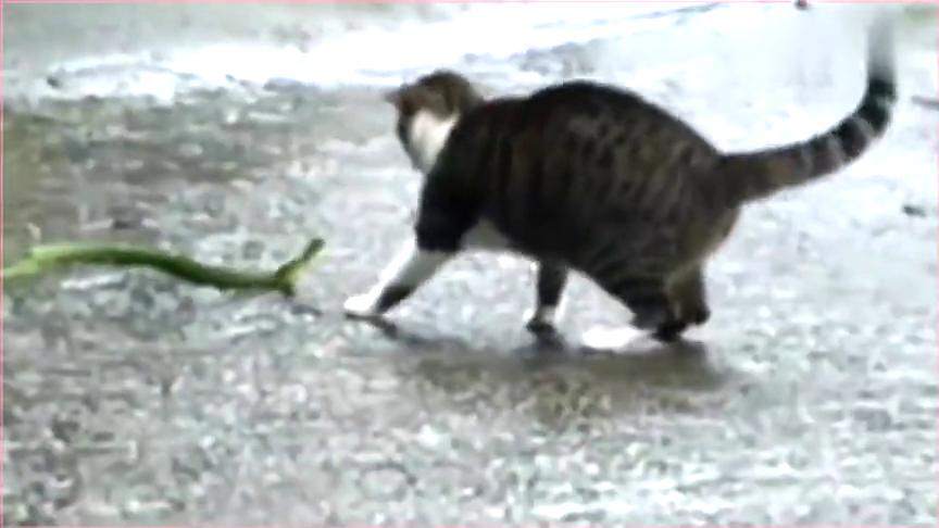 翠青蛇和狸花猫狭路相逢,被猫咪不停扇脑袋毫无毒蛇尊严