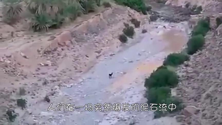 牧场被洪水冲散,上百头奶牛被困,却在牧羊犬的带领下成功脱险!