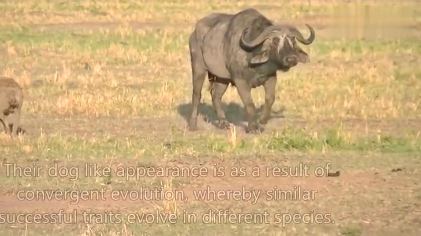 野牛从被鬣狗袭击,到变成一堆骨架,造福了好几茬的食肉食腐动物