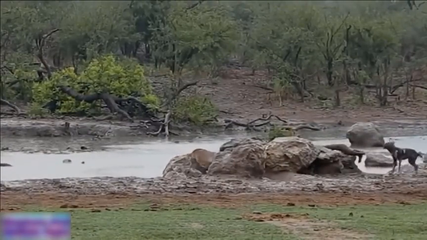 野狗对在水里的黑斑羚攻击,大象看到这一幕,跑着来帮忙!