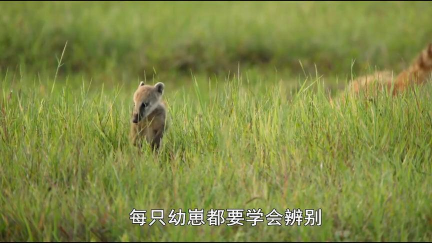 野性巴西:小浣熊需要分辨哪些是它的天敌,比如老鹰